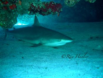 Gray Reef Shark Laying Down