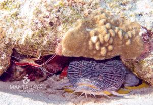 Splendid toad fish close