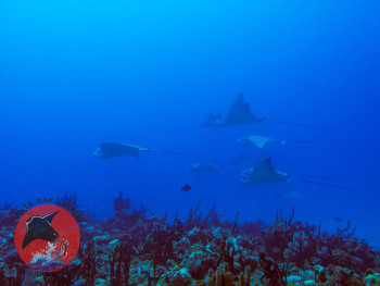 Schooling Eagle Rays