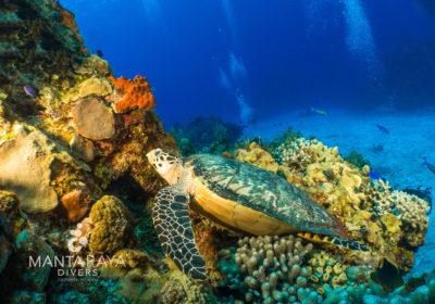 Hawksbill Sea Turtle resting on a coral head