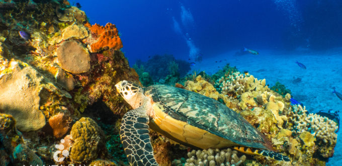 Hawksbill Sea Turtle resting on a coral head