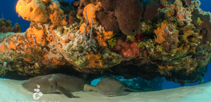 Two nurse sharks laying under a coral head