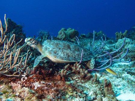 Green Sea Turtle Cozumel