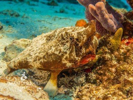 Bat fish Cozumel