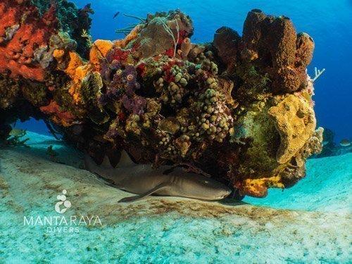 Nurse shark Cozumel
