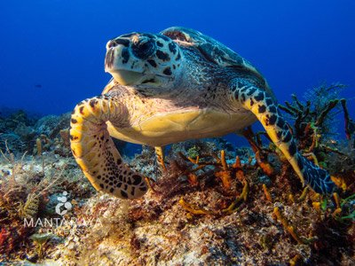 Hawksbill Sea Turtle in Cozumel